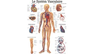 Tableau Le Système Vasculaire RÜDIGER